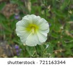 Small photo of Pale yellow flower on Hollyhock, Alcea Rugosa, close-up with bokeh background, selective focus, shallow DOF.
