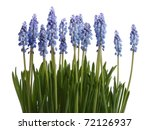 Blue flowers on the white background. - stock photo