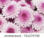 beautiful pink chrysanthemums... | Shutterstock . vector #721275730