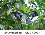 Small photo of Canarium pimela (Black Myrobalan,Chebulic Myrobalan). Ripe Chebulic Myrobalan fruits hang on the tree.