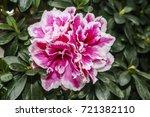 Hybrid Azalia  Rhododendron...