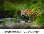 amur tiger walking in the river.... | Shutterstock . vector #721402984
