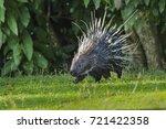 east asian porcupine running... | Shutterstock . vector #721422358
