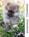 Funny Small Pomeranian Dog...