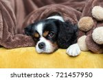 cute cavalier spaniel relaxing... | Shutterstock . vector #721457950