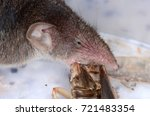 common shrew  sorex araneus  | Shutterstock . vector #721483354
