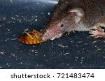 common shrew  sorex araneus  | Shutterstock . vector #721483474