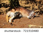 sleeping kangaroo under a tree  | Shutterstock . vector #721510480