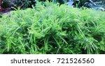Green Plant Like Star Grass
