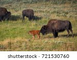 bisons with young calfs on... | Shutterstock . vector #721530760