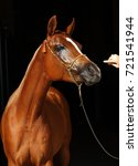 Small photo of Arabian horse, bay, portrait, wearing a show halter