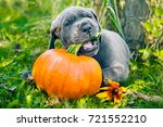 Stock photo funny great dane dog puppy and pumpkin 721552210