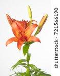Small photo of Lilium Longiflorum x Asiatic Grp Vera Cruz