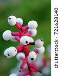 Small photo of White baneberry (Actaea Alba) also known as White Doll's Eyes. Vertical close up image.