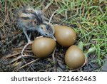 water bird hatched from the egg.... | Shutterstock . vector #721662463