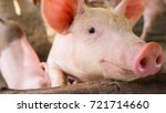close up a pig so happy with... | Shutterstock . vector #721714660