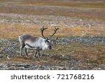 svalbard reindeer  rangifer... | Shutterstock . vector #721768216