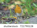 robin on the grass  beautiful... | Shutterstock . vector #721790128