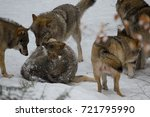 wolves in forest | Shutterstock . vector #721795990