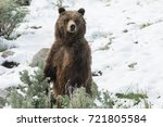 mother grizzly bear ever... | Shutterstock . vector #721805584