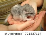 newborn chinchilla baby on a... | Shutterstock . vector #721837114