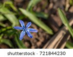blue spring flower scilla...   Shutterstock . vector #721844230