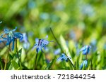 blue spring flowers scilla...   Shutterstock . vector #721844254
