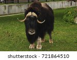 sad musk ox looks intently at... | Shutterstock . vector #721864510