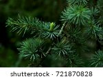 young branch of cedar with ... | Shutterstock . vector #721870828