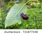 Small photo of Arion ater - type of slugs from the family of Arionidae. Slug on a leaf. Greean forest on the background