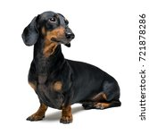 Stock photo a dog puppy of the dachshund male breed black and tan on isolated on white background 721878286