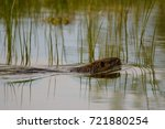 coypu floating in the water | Shutterstock . vector #721880254