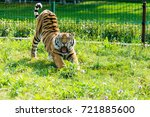 the amur tiger is yawning and... | Shutterstock . vector #721885600