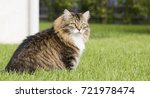 Adorable Brown Tabby Cat Of...