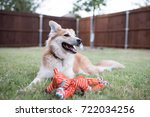 Stock photo dog in backyard with toy 722034256