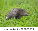 malayan porcupine  himalayan... | Shutterstock . vector #722035294