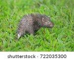 malayan porcupine  himalayan... | Shutterstock . vector #722035300