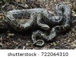 Burmese Python  Python...