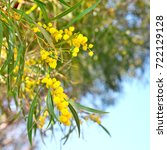 Small photo of golden wattle Acacia pycnantha flowers against blue sky background