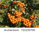 Pyracantha Berry Shrub In The...