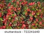 Begonia. Beautiful Flowers Of...