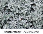 cineraria. plants for...   Shutterstock . vector #722242390