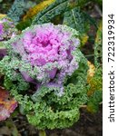 Small photo of Ornamental kale lavender, Brassica oleracea var. sabellica L., Brassicaceae family.