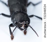 Small photo of Devil's coach horse beetle (Ocypus olens, Staphylinidae) on a white underground