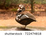 white winged wood duck standing ... | Shutterstock . vector #722474818