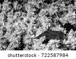 black and white chrysanthemum...   Shutterstock . vector #722587984