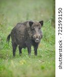 A Male Wild Boar Looks Directl...