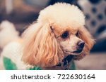 Apricot Toy French Poodle On A...