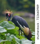 grey crowned crane bird ... | Shutterstock . vector #722660989