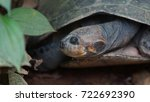 Small photo of Front view of turtle with legs and head inside its shell in Ecuadorian amazon. Common names: Charapa. Scientific name: Podocnemis unifilis